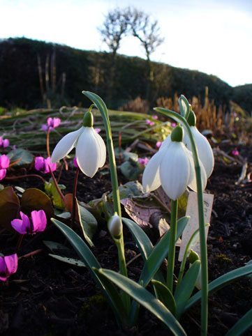 cyclamen and snowdrop